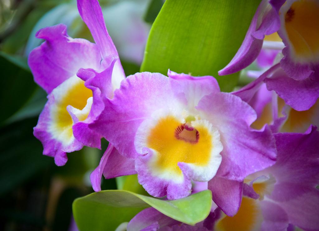 orchidea_gialla_viola