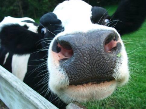 Mucca-da-latte-